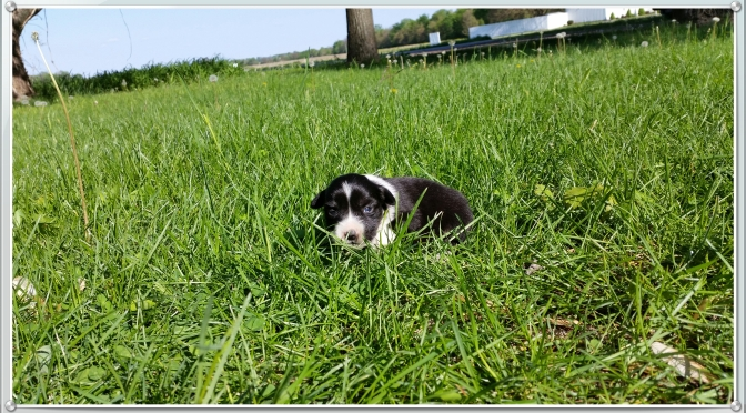 Sofie, Female AKC Eligible $650