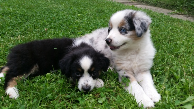 Black Tri and Blue Merle Puppies