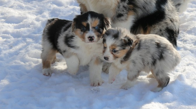 The Puppies are 6 Weeks Old – very cute….
