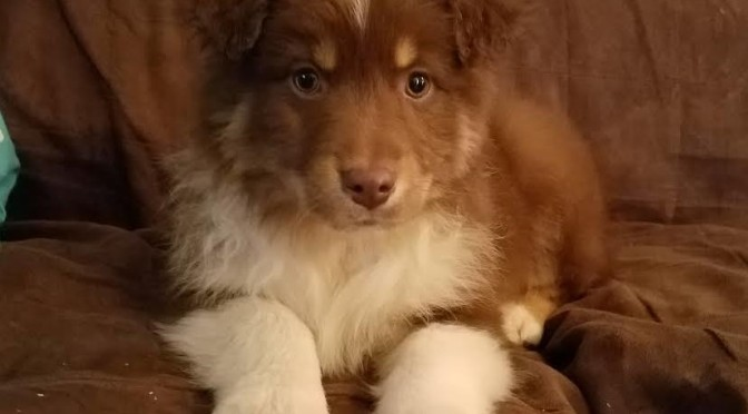 Ricky, Red Tri Aussie puppy