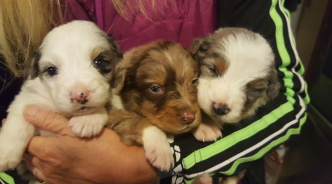 Annie had her first litter of beautiful Standard Australian Shepherds on November 14th.