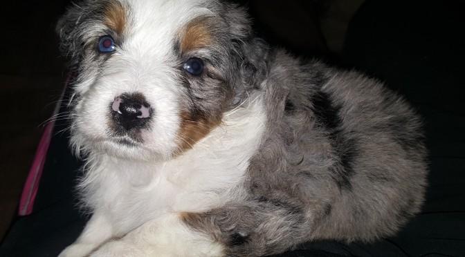 Cute puppy, 5 weeks old