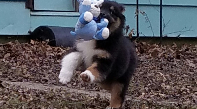 Black Tri Australian Shepherd, male, $600