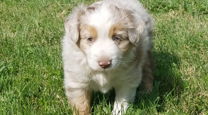 Red Merle Mini Aussie Puppy, Male, $800  Blue/Green eyes