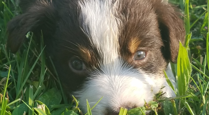 Standard Aussie Puppies Available