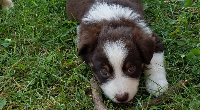 Standard Aussie Puppies Available – Born July 20th